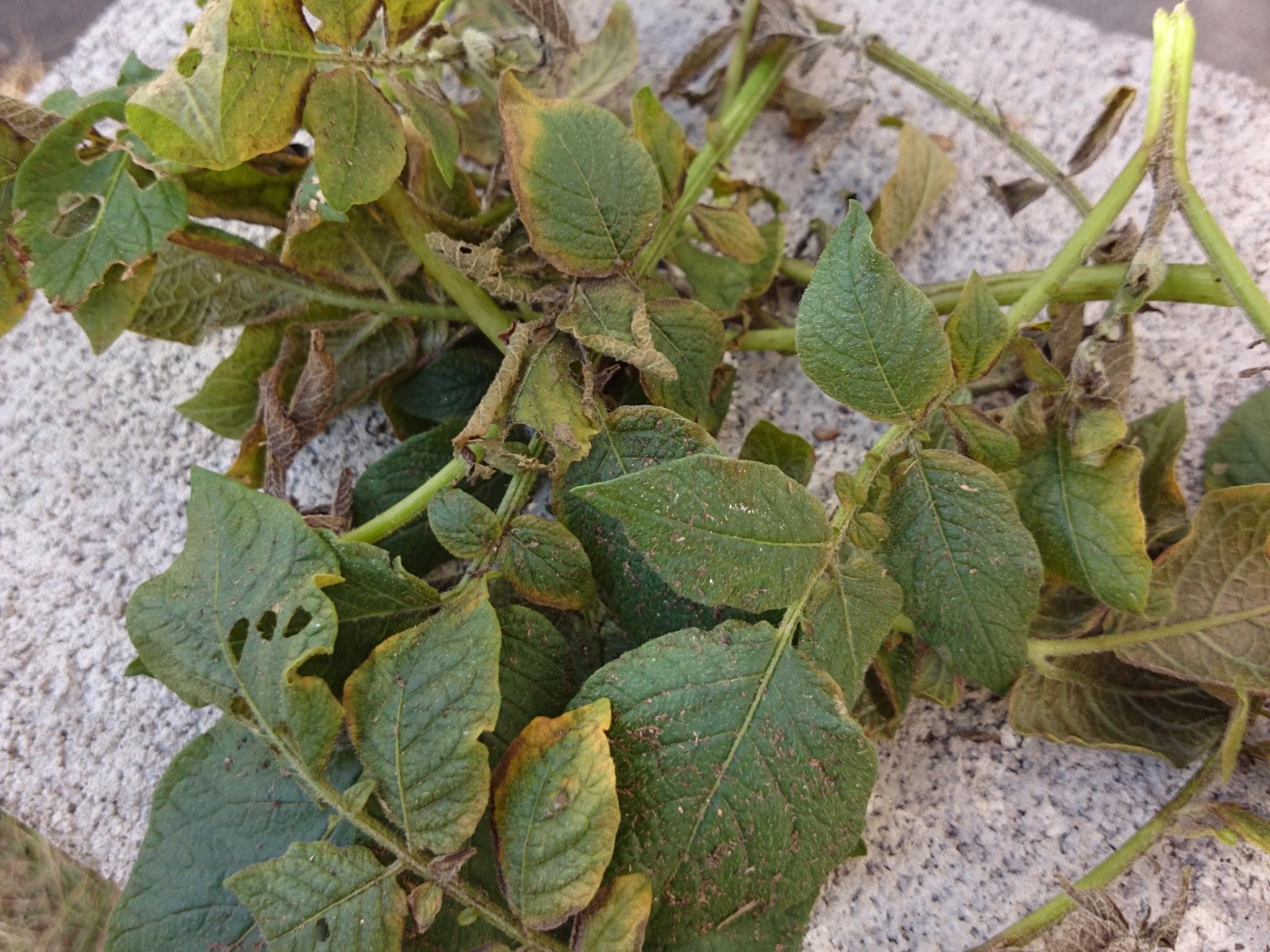 枯れ葉摘み取り