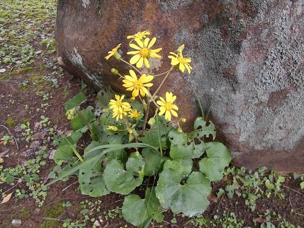 ツワブキ(花)