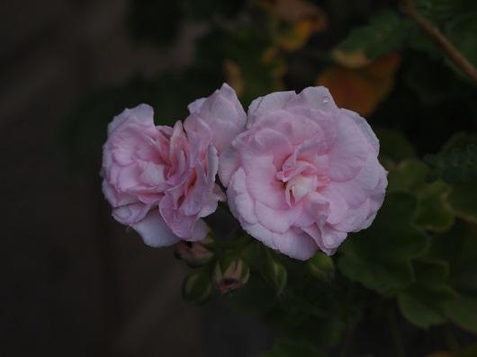 バラ咲きゼラニューム・ミルフィールドローズ