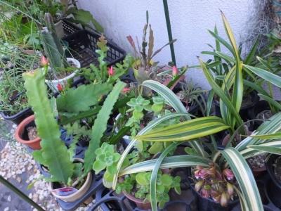 南西家の壁面のビニール温室内で冬越して、クジャクサボテン、シンビジウム・斑入りキンリョウヘン(金稜辺)にも花芽ができて咲き始めています\(^o^)/♪2017.05.07