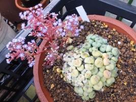 休眠しそうな、コノフィツムの後ろで、こぼれ種発芽の*セダム・カウルレアが開花中♪2017.05.18