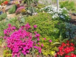 木立性松葉菊♪ランプランタス~濃紫ピンク、深紅、白、他メタリックに満開花中~2017.05.19♪
