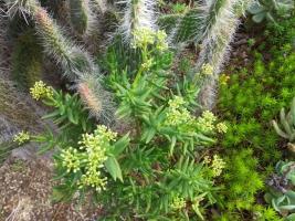 クラッスラ・テトラゴナ(Crassula tetragona)桃源郷(トウゲンキョウ)、竜陽(リュウヨウ).花芽が初めてできました♪2017.0531