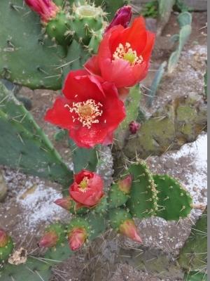 紅花団扇がたくさん開花しています♪2017.06.08