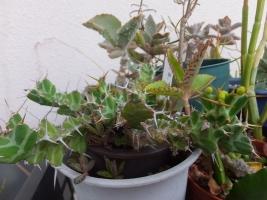 ユーフォルビア・クラビゲラ(Euphorbia clavigera)2017.0622