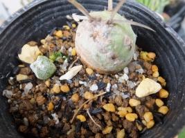 鉢上げしたランポー玉とテフロカクタスの発根茎節2017.06.24