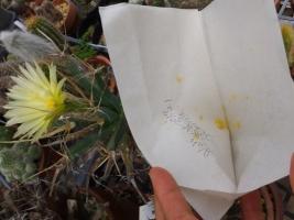サボテン・晃山の2番花の花粉も採取して冷凍保存しておく♪2017.07.21