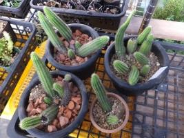クレイストカクタス・彩舞柱(Cleistocactus samaipatanus)植え替えました♪2017.07.21
