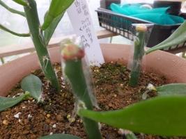 スルコレブチア・カニグラリー錦の新芽をキリン団扇接に接ぎ木練習します♪2017.07.23