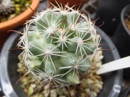 マミラリア(=バルチェラ)・蓬莱宮(ほうらいぐう)Mammillaria shumannii (Syn: Bartschella schumannii)にたくさん花芽ができています\(^o^)/♪20