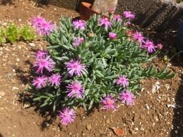 ルスキア プルビナリス(Ruschia pulvinaris)地植えにしたらたくさん開花中♪2017.07.29