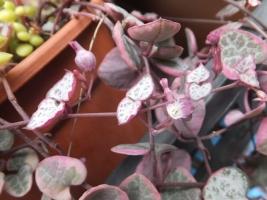 セロペギア・ウッディー(ハートカズラ)の花も剝いて蕊を探す♪2017.07.04