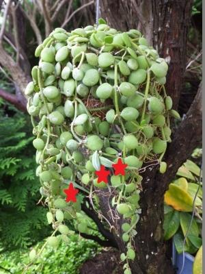 ディスキディア・ヌンムラリア(Dischidia nummularia)のタネ\(^o^)/♪2017.08.17