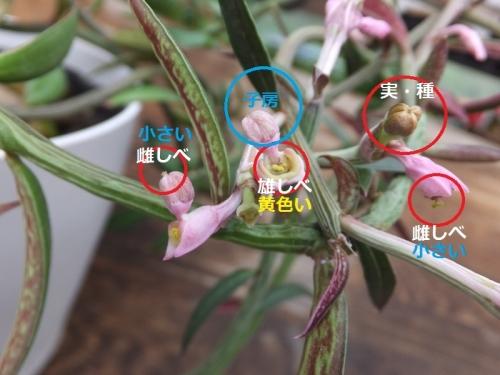 塊根モナデニウム・ルベルムの花の構造♪2017.09.08