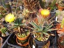 レウクテンベルギア・晃山(こうざん)(Leuchtenbergia principis)同時開花♪2017.0911