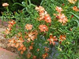 塊根メセン*メストクレマ・ツベローサム(Mestoklema tuberosum)渋いオレンジ色の集合花♪2017.09.20