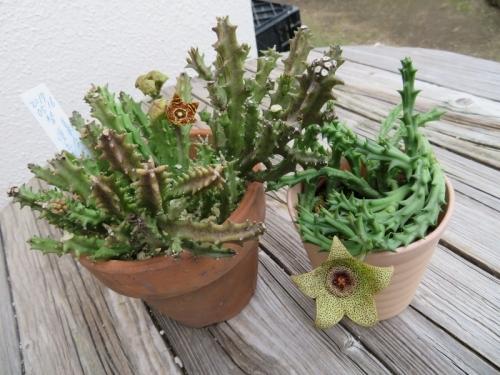*カラルマ・クレヌラタ(左)、*フェルニア・姫牛角(右)ガガイモ科の面白い花♪2017.09.27