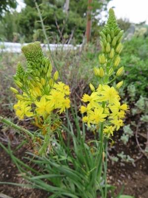 ブルビネ・フルテスケンス(黄花)よく見ると、花が帯化しています♪。2017.09.26