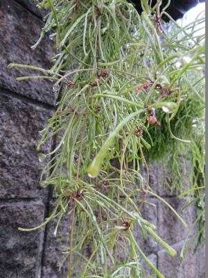 ホヤ・レツーサ(Hoya retsusa dalzelly)~花芽が上がっていました\(^o^)/♪2017.10.03