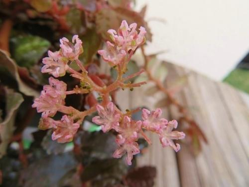 ペリオニア・ダヴォーアナ♪結構可愛いピンクの花♪開花2017.10.05