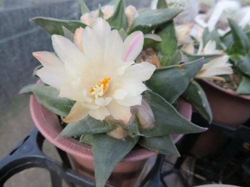 アリオカルプス・岩牡丹(Ariocarpus retusus)開花♪2017.10.18