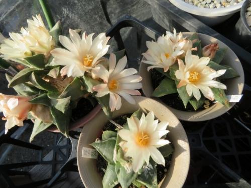 アリオカルプス・岩牡丹(Ariocarpus retusus)美白花♪まだまだ開花中\(^o^)/♪。2017.10.26