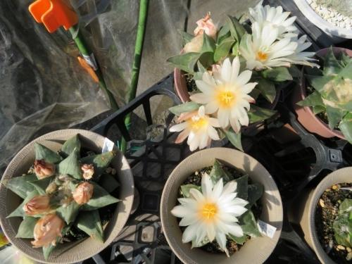 アリオカルプス・岩牡丹(Ariocarpus retusus)美白花♪まだまだ開花中\(^o^)/♪。2017.10.27