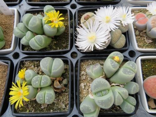 リトープス・オリーブ玉系(L.olivacea)黄底白花咲き始め♪2017.10.31