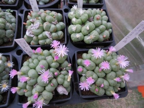 コノフィツム・フィシフォルメ(夜咲き)、ピンク花&白花~日暮れ頃16:55開花し始め♪2017.11.05