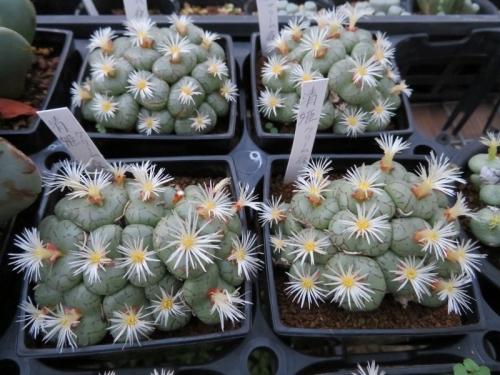 コノフィツム・清姫(夜咲き)、なんとなくクリーム白花~日暮れ頃16:55開花し始め♪2017.11.05