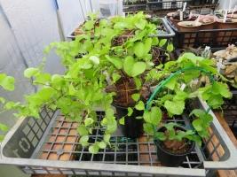 アフリカ亀甲竜・(Dioscorea elephantipes)エレファンティペス、蔓亀草(塊根植物・冬成長型)2017.11.13