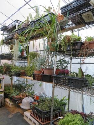 一旦、温室に取り込んだ寒さに弱い多肉観葉植物2017.11.22