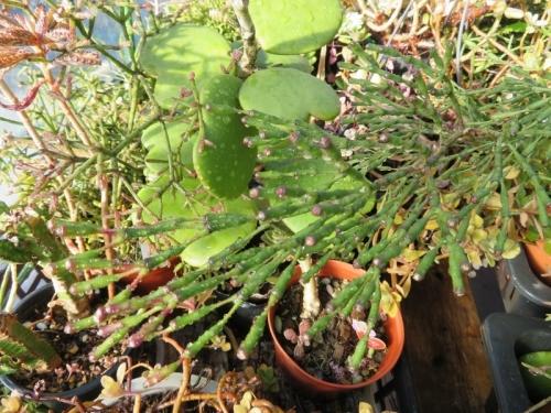 ハチオラ・竜吐水(りゅうどすい)(Hatiora cylindrica)やや紫葉,花芽2017.12.04