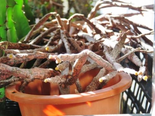 ユーフォルビア・プラティクラダ(Euphorbia platyclada)極小さな黄色花~2017.12.12