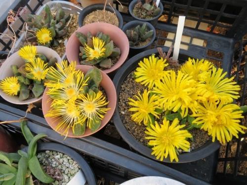 左:プレイオスピロス・陽光。右:グロッチフィルム不明種、大輪黄花芳香花♪201.12.15