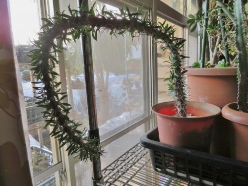 ディディエレア科 ディディエレア属  トローリー  (Didiereaceae Didierea  trolii)  和名:阿修羅城(あしゅらじょう)、花金棒の木(はなかなぼうのき)  原産地~マダガスカル島、マダガスカル南西部 2