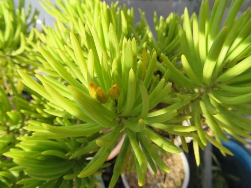 セネシオ・バルベロニカス(Senecio barbertonicus)に花芽ができました♪2017.12.25