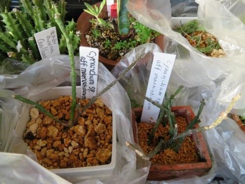 シナンクム・マルニエラヌム(Cynanchum marnieranum)マダガスカル原産~2017.12.30