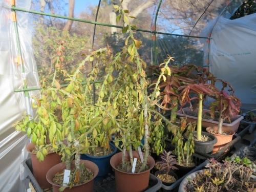 キリン団扇~サボテン接ぎ木用1年足らずでぐんぐん成長!木質化しています♪2018.01.02