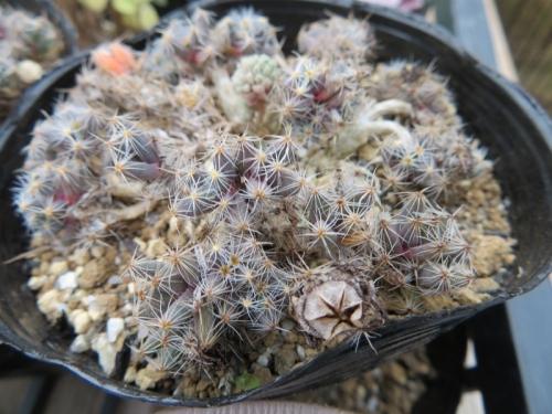 トリコディアデマ・紫晃星(Trichodiadema densam)の冬の様子♪右下に種鞘ができています♪2018.0105