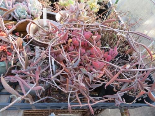 カランコエ・ビーバーディー(Kalnchoe beauverdii)~ツル性細葉、赤黒葉、花芽ができています♪2018.01.07