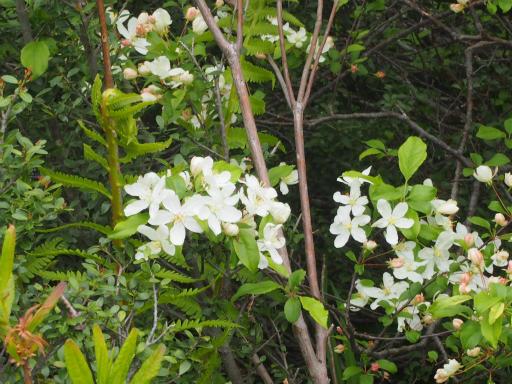 20170618・南会津植物12・ズミの花