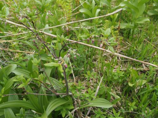 20170618・南会津植物07・ウラジロヨウラク
