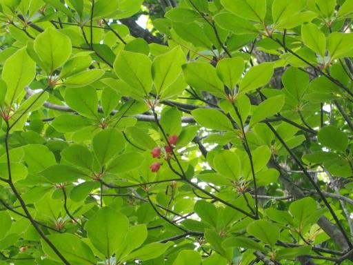20170619・南会津植物44・サラサドウダン