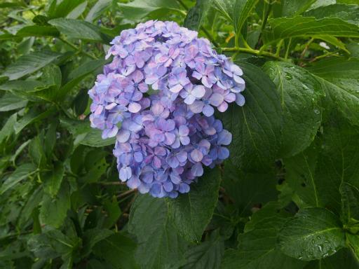 20170723・花歴史温泉・雑草16・アジサイ