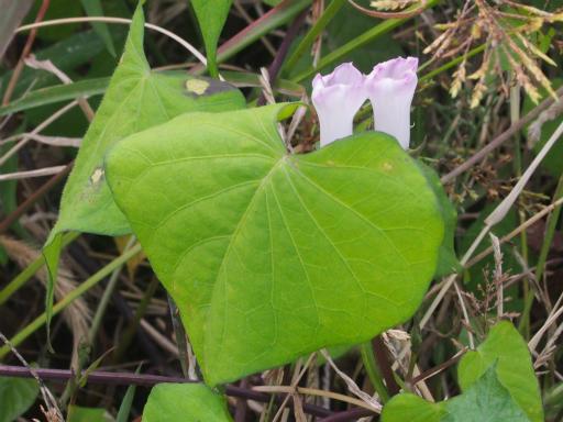 20170923・藤岡植物17・マメアサガオ
