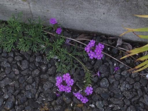 20170923・藤岡植物15・ヒメビジョザクラ