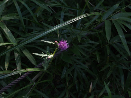 20170924・父墓参り植物07・ノハラアザミ
