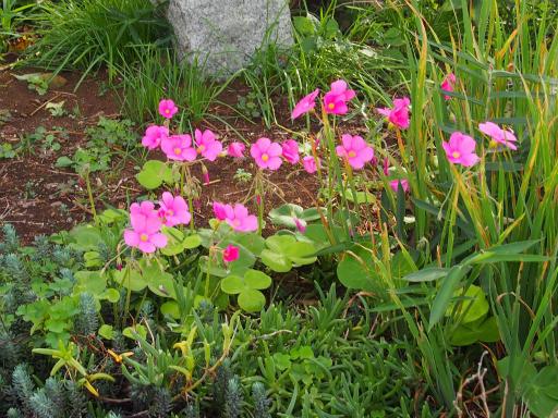 20171001・狭山湖2-24・ハナカタバミ(花も葉も大きい)