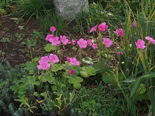 20171001・狭山湖植物17・ハナカタバミ